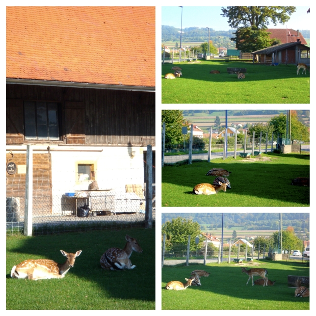 deers in yvonand switzerland